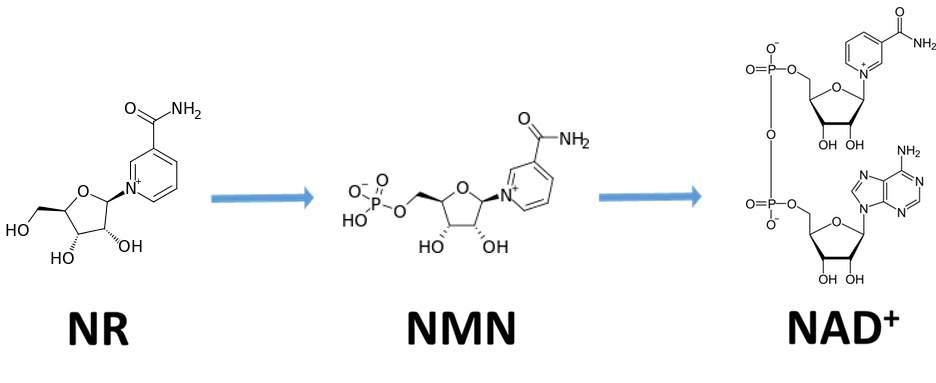 Nr To Nmn To Nad+ Molecule