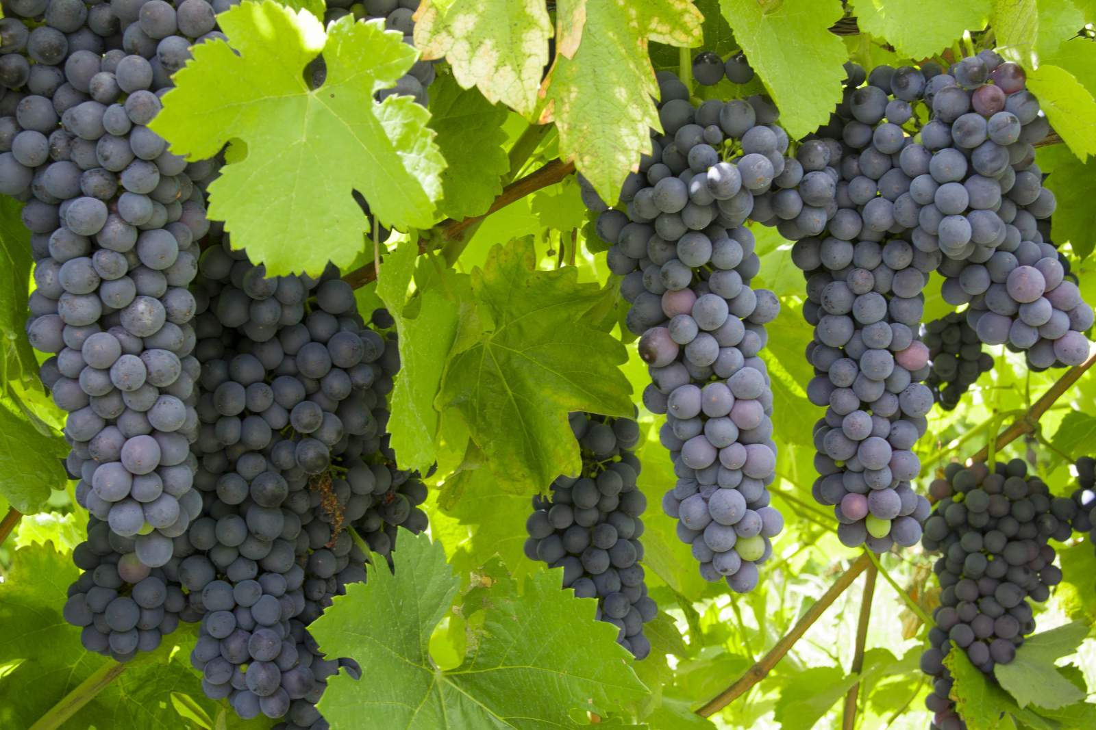 Red Wine Grapes 2